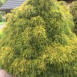 Chamaecyparis pisifera 'Sungold' - Schijncypres, Japanse cipres, Japanse Sawara cipres - Chamaecyparis pisifera 'Sungold'