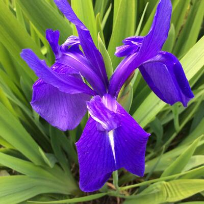 Iris laevigata 'Bleu' -