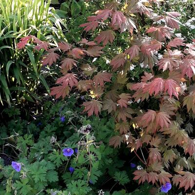Acer palmatum 'Ever Autumn' -