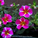 Calibrachoa 'CALITA Special Pink Star' - Calibrachoa 'CALITA Special Pink Star' - Mini petunia