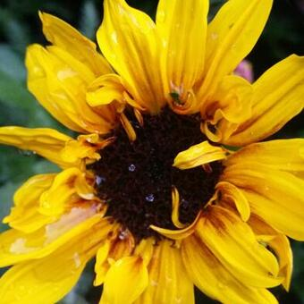 Helianthus annuus SUNBELIEVABLE 'Brown Eyed Girl '