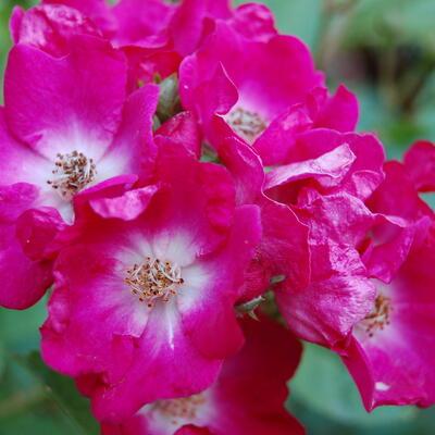 Rosa 'Marjorie Fair' -