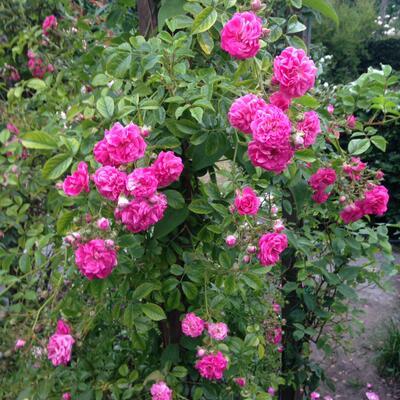 Rosa 'Excelsa' -