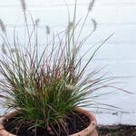 Pennisetum alopecuroides 'Burgundy Bunny' - Lampepoetsergras - Pennisetum alopecuroides 'Burgundy Bunny'