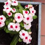 Catharanthus roseus - Catharanthus roseus - Roze maagdenpalm