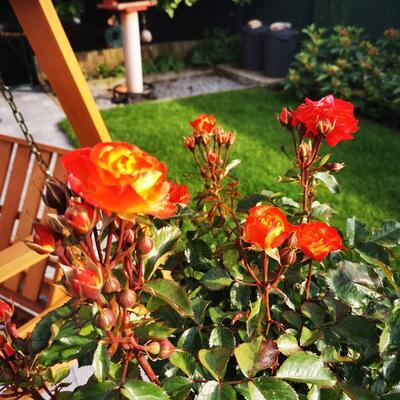 Rosa 'Firebird' -