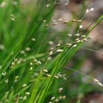 Melica uniflora - Eenbloemig parelgras - Melica uniflora