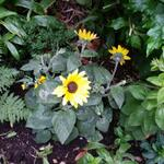 Helianthus 'Sunfinity' - Helianthus 'Sunfinity' - Zonnebloem