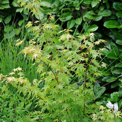 Acer palmatum 'Going Green' -