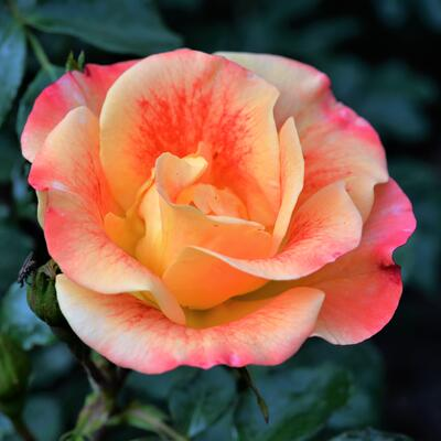 Rosa 'Airbrush' -