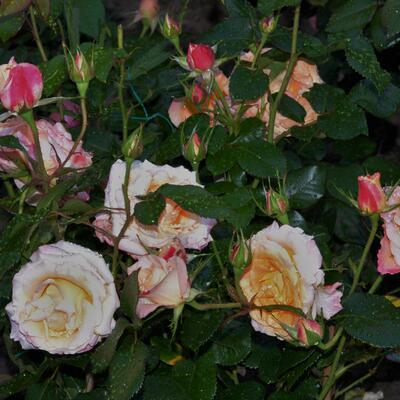 Rosa 'Brittannia' -