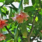 Brugmansia Pink perfection x Triple A - Brugmansia Pink perfection x Triple A - Engelentrompet