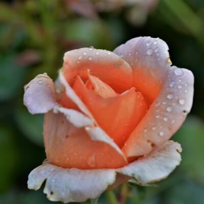 Rosa 'Abbaye de Cluny'  -