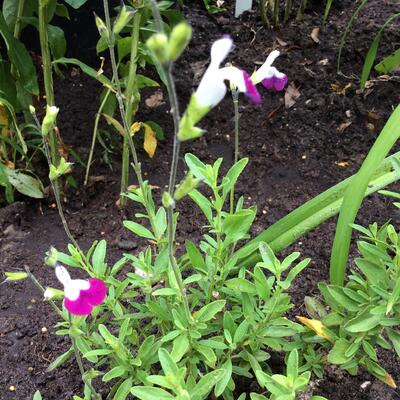 Salvia x jamensis 'Amethyst Lips' -