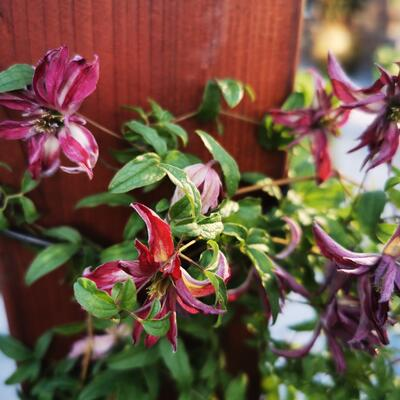 Clematis  viticella 'Rosalyn' - Bosrank