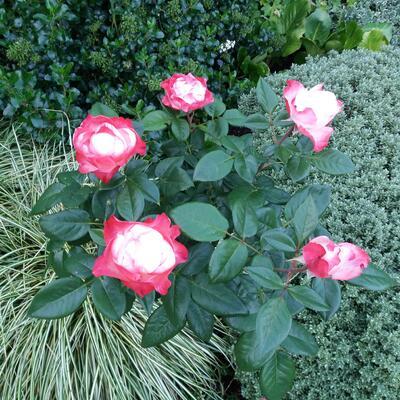 Rosa 'Origami' -