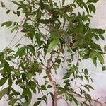 Eugenia uniflora 'Etna Fire' - Surinaamse kers, Pitanga - Eugenia uniflora 'Etna Fire'