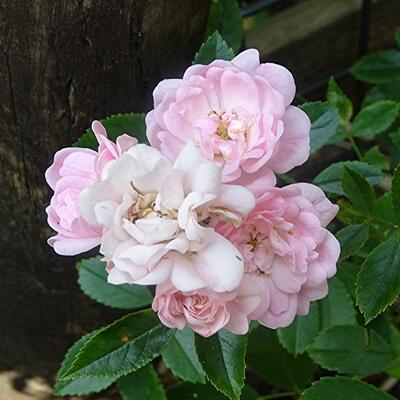 Rosa 'Super Fairy' -