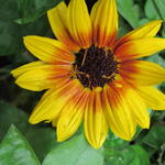 Helianthus annuus SUNBELIEVABLE 'Brown Eyed Girl ' - Zonnebloem