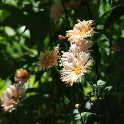 Chrysanthemum 'Apricot' -