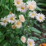 Chrysanthemum 'Apricot' - Chrysanthemum 'Apricot' - Margriet