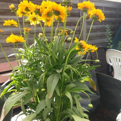 Coreopsis grandiflora -