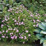 Spiraea japonica 'Little Princess' - Spierstruik - Spiraea japonica 'Little Princess'