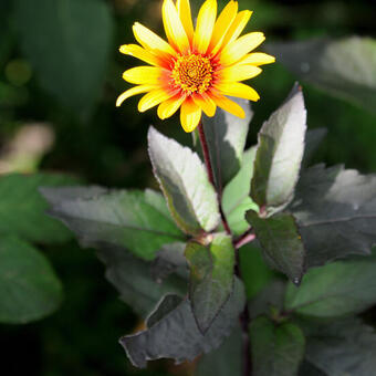 Heliopsis helianthoides scabra 'Burning Hearts'