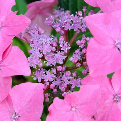 Hydrangea macrophylla 'Tiffany' -