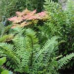 Polystichum retrosopaleaceum - Polystichum retrosopaleaceum - Japanse zwaardvaren