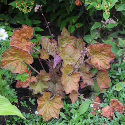 Heuchera villosa 'Dark leaved Strain' -