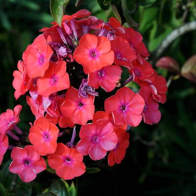 Phlox paniculata 'Freudenfeuer' -