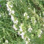 Hyssop - Hyssopus officinalis 'Albus'