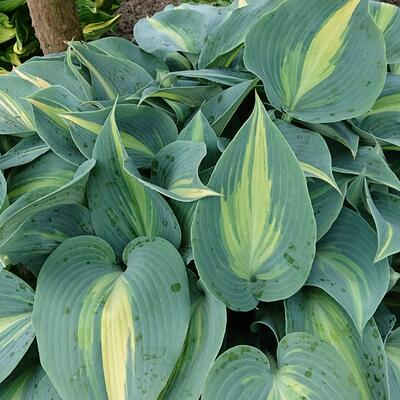 Hosta 'Lakeside Cupcake' -