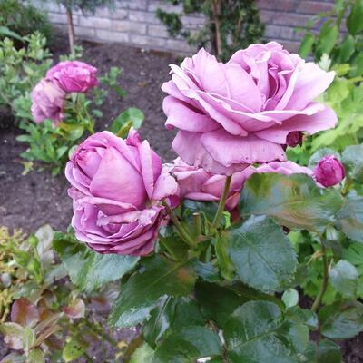 Rosa 'Jac Blupo' -