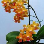 Phalaenopsis Baldan's Kaleidoscope 'Golden Treasure' - Orchidee