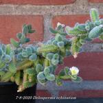 Delosperma echinatum - Delosperma echinatum - Augurkenplantje