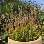 Calluna vulgaris 'Firefly' - Calluna vulgaris 'Firefly' - Zomerheide / struikheide/ knopbloeiende heide
