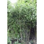 Fargesia nitida 'Great Wall' - Fargesia nitida 'Great Wall' - Bamboe