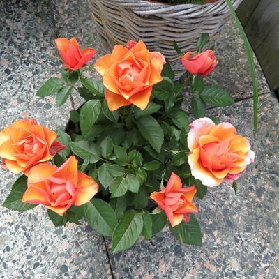 Rosa-hybride -
