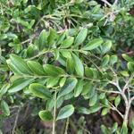 Buxus sempervirens 'Suffruticosa' - Franse buxus, Dwergbuxus