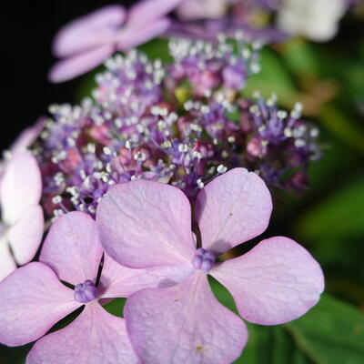 Hydrangea macrophylla 'Nizza' -