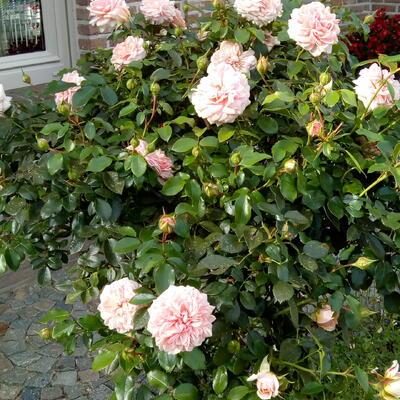 Rosa 'Cream FLOWER CIRCUS' -