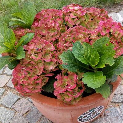 Hydrangea macrophylla MULTI-DOUBLE 'Pink Alert' -