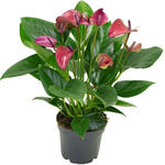 Anthurium andreanum MULTI FLORA Purple - Flamingoplant