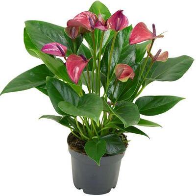 Anthurium andreanum MULTI FLORA Purple -