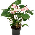 Anthurium andreanum 'Hotlips' - Flamingoplant - Anthurium andreanum 'Hotlips'