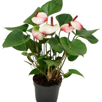 Anthurium andreanum 'Hotlips' -