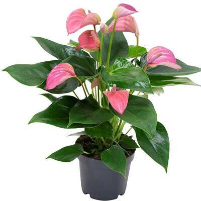 Anthurium andreanum MULTI FLORA  Rose -