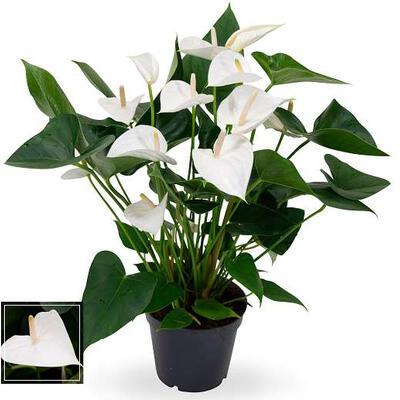 Anthurium andreanum 'White Winner' -